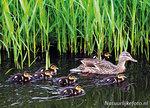 vogelkaarten, ansichtkaarten vogels Eend, bird postcard Duck, postkarte vögel Ente