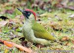 ansichtkaart Groene specht kaart, bird postcard European green woodpecker, Waldvögel Postkarte Grünspecht