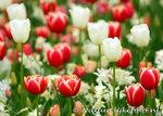 ansichtkaart tulpenveld kaart - Postcard field with tulips - blumen Postkarten Tulpe