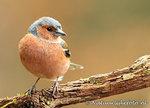 ansichtkaart vink kaart, bird postcardforest Finch, Waldvögel Postkarte Vogel Fink