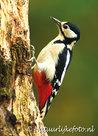 vogelkaarten Grote bonte specht, forest birds postcardGreat spotted woodpecker, Vogel Postkarte Buntspecht