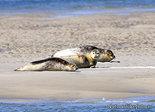 ansichtkaart Zeehonden kaart, animal postcard Earless seals, Tierpostkarte Hundsrobben