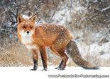 dierenkaarten, vos in de sneeuw, snowy fox postcard, Postkarte Wilde Tiere Fuchs im Schnee