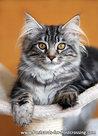 Ansichtkaart Maine coon kat