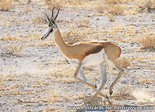 dierenkaarten ansichtkaart dieren Afrika Springbok, postcard animals in Africa Springbok, Tier Postkarte Afrika Springbok