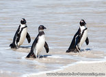 Ansichtkaart Zwartvoet pinguïns, African penguins postcard, PostkarteBrillen pinguins