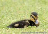 ansichtkaart jong eendje kaart, bird postcard young duckling, Vögel Postkarte Junges Entlein