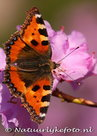 ansichtkaart vlinder Kleine Vos kaart - butterfly postcardslittle Fox - postkarte schmetterling kleiner Fuch