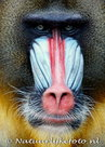 ansichtkaart Mandril kaart, zoo animal postcards Mandril, Tiere Postkarte Mandrill