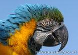 ansichtkaart blauw gele ara kaart, Bird postcard Blue yellow macaw, Vogel Postkarte Blau und Gold Macaw