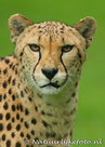 Jachtluipaard kaart, postcard Cheetah, Postkarte Gepard