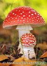 Herfstkaarten, ansichtkaartherfst paddenstoel vliegenzwam, postcard Autumn mushrooms, postkarte Herbst Fliegenpilze