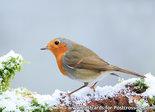 goedkope kerstkaarten kopen, ansichtkaart Roodborst kaart, Robin postcard , Vögel Postkarte Rotkehlchen