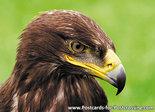 ansichtkaartroofvogels Steenarend - postcard raptor bird Golden eagle - postkarte greifvögel Steinadler