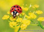 ansichtkaart Lieveheersbeestje kaart - Lady beetle postcard  - Postkarte / Ansichtskarte Marienkäfer