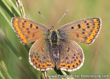 Vlinder kaarten, Bruine vuurvlinder - Sooty copper butterfly postcard- postkarte Schmetterling Brauner Feurerfalter