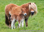 dieren kaarten ansichtkaart Shetlandpony, Shetland pony postcards, Tiere postkarten Shetlandpony