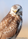 Buizerd kaart, ansichtkaart - postcard raptor bird Common buzzard - postkarte greifvögel Mäusebussard