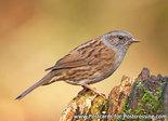 ansichtkaart Heggenmus kaart, Bird postcardDunnock, Waldvögel PostkarteHeckenbraunelle