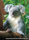 Koala kaart, Koalapostcard, Postkarte Koala