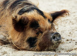varken kaart, pig postcard, Postkarte Schwein