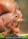 Dierenkaarten eekhoorn, Red squirrel postcard , squirrel card Eichhörnchen