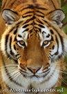 Tijger kaart, ansichtkaart Siberische tijger, postcard Siberian tiger card, Postkarte Sibirische Tiger Karte