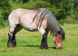 Belgisch paard kaart