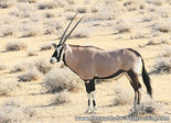 dierenkaarten Afrika Spiesbok, animal postcards Africa Oryx, Postkarte Tiere Afrika Oryxantilopen