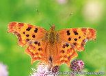 Vlinder kaarten, ansichtkaart vlinder Gehakkelde Aurelia - postcardbutterfly Polygonia c-album - postkarte Schmetterlin