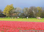 Ansichtkaart tulpen met koeien