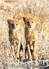 dierenkaarten dieren Afrika Jachtluipaard cheetah, cheetah postcard animals in Africa cheetah, Gepard Postkarte Tiere Afrika