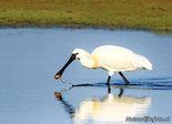Vogelkaarten ansichtkaarten vogels lepelaar, bird postcard Eurasian spoonbill, Vogel Postkarte Löffler