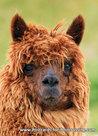 Alpaca kaart - Prachtige postkaart / ansichtkaart van een Alpaca
