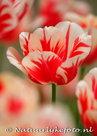 bloemen kaarten, ansichtkaart bloemen tulp - Tulip postcard - blume Postkarte Tulpe
