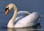 vogelkaarten, ansichtkaarten vogels Knobbelzwaan, bird postcards Mute swan, vögel Postkarte Höckerschwan