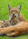 ansichtkaarten dierentuin Lynx, Zoo animals postcards Lynx, Zoo Tier Postkarte Luchs