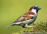 Vogelkaart huismus, bird postcard House sparrow, Vogel Postkarte Haussperling