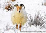 dieren kaarten, Drents Heideschaap in de winter, postcard Drents Moorland sheep in winter, Winter Postkarte