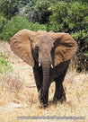 dierenkaarten Afrikaanse olifant, animal postcard African elephant, Afrika Tier Postkarte Afrikanische Elefant