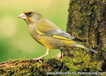 vogelkaarten, ansichtkaart vogels Groenling, Bird postcardforest European greenfinch, Vögel Postkarte Grü