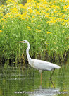 vogelkaarten, ansichtkaarten vogels Grote zilverreiger, bird postcards Great egret, postkarte vögel Silberreiher