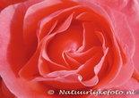 Ansichtkaart Roos kaart, Rose postcard, Postkarte Rose