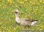 vogelkaart, ansichtkaarten vogels Grauwe gans, bird postcards Greylag goose, Vögel Postkarte Graugans