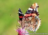 Vlinder kaarten, ansichtkaart Distelvlinder - postcardbutterfly Painted lady - postkarte Schmetterling Distelfalter