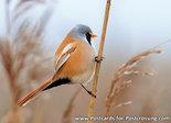 vogelkaarten baardmannetje kaart, bird postcards Bearded reedling, Vogel Postkarte Bartmeise