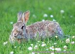 Konijn kaartje, wild animals postcard European rabbit, Postkarten Wilde Tiere
