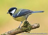ansichtkaart vogel kaart Koolmees, bird postcard Great tit, Waldvögel Postkarte Kohlmeise
