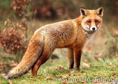 ansichtkaart vos - prachtige kaart van een vos