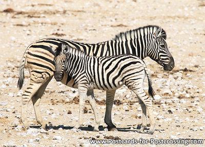 dierenkaarten Afrika Burchell's zebra, animal postcard Africa Burchell's zebra, Burchell's zebra Postkarte